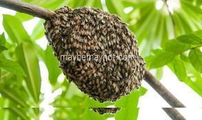 original-honey honey-bee