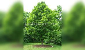 naple-tree